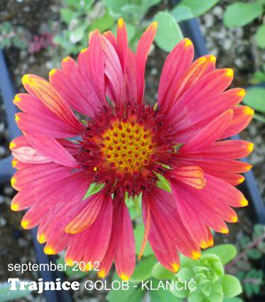 Gaillardia aristata 'Arizona Red Shades'