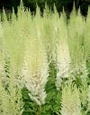 Astilbe chinensis 'Diamonds and 'Pearls' - trpežna   kresnica
