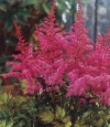 Astilbe chinensis 'Love and Pride' - purpurno rožnata visoka kresnica