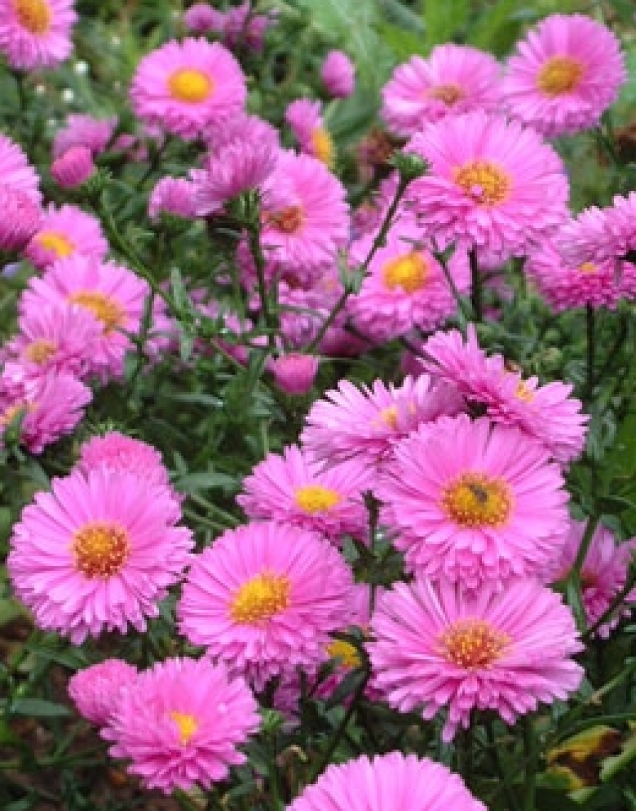 Picture of Live New York Aster (pink) aka Aster nov. 'Patricia Ballard' Plant Fit 1 Gallon Pot