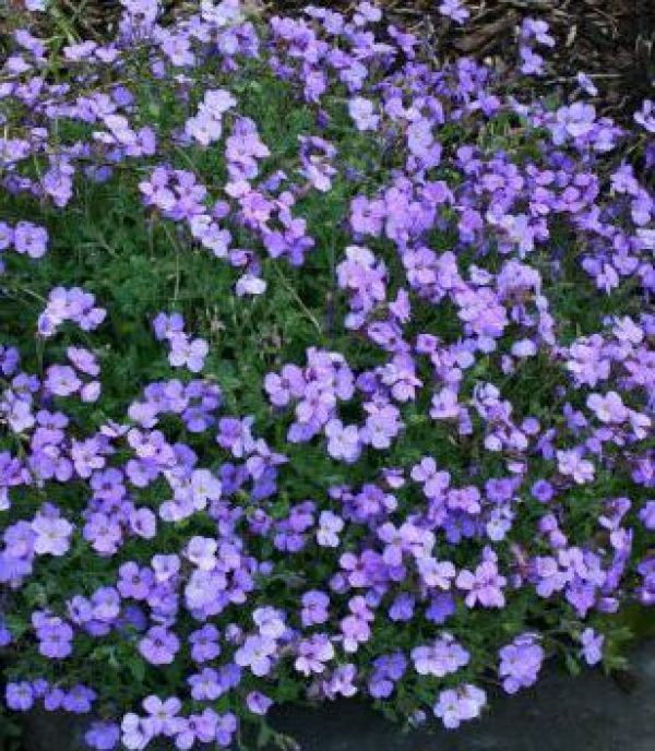Aubrieta cultorum 'Royal Blue' -modra avbrecija
